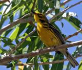 IMG_7713 Prairie Warbler male.jpg