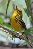IMG_7830 Prairie Warbler male.jpg