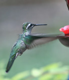 IMG_9224 Magnificent Hummingbird.jpg