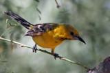 IMG_9847 Hooded Oriole young male.jpg