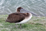 IMG_6860 Brown Pelican juvenile.jpg