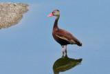 IMG_7193 Black-bellied Whistling Duck.jpg