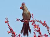 IMG_9723 Northern Cardinal female.jpg
