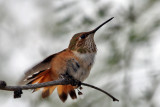 IMG_1364 Rufous Hummingbird female.jpg
