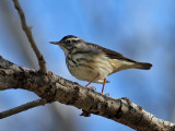 IMG_5875 Louisiana Waterthrush.jpg