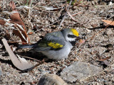 IMG_6387 Golden-winged Warbler.jpg
