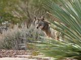 IMG_4772 Coyote.jpg