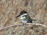 IMG_2028 Green Kingfisher.jpg