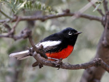 IMG_7828 Painted Redstart.jpg