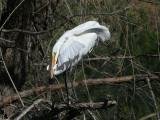 IMG_8536 Great Egret.jpg