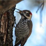 IMG_9141 Arizona Woodpecker male.jpg
