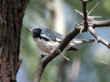 IMG_9564 Black-throated Blue Warbler.jpg