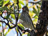 IMG_0157 Cassin's Finch.jpg