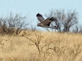 IMG_0257 Northern Harrier male.jpg