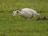 Indische gans/Bar-Headed Goose