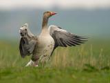 Grauwe gans/Greylag goose