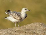 Kleine mantelmeeuw/Lesser Black-backed Gull