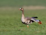 Kolgans/White-fronted goose