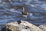 Whimbrel (Numenius p. phaeopus)