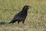 Rook (Corvus frugilegus) - råka