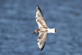Black-headed Gull (Larus ridibundus) - skrattmås