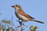 Red-backed Shrike (Lanius collurio) - törnskata