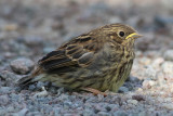 Yellowhammer (Emeriza citrinella) - gulsparv