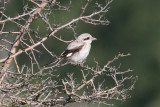 Steppe Grey Shrike (Lanius pallidirostris) - ökenvarfågel