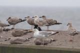 Caspian Gull (Caspian Gull) - kaspisk trut  and Herring Gulls (Larus argentatus) - gråtrut