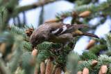 Two-barred Crossbill (Loxia leucoptera) - bändelkorsnäbb