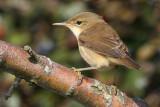 Reed Warbler (Acrocephalus scirpaceus) - rörsångare