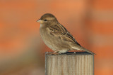 House Sparrow (Passer domesticus) - gråsparv