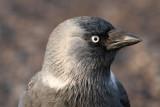 Jackdaw (Corvus monedula) - kaja
