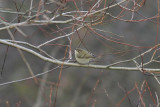 Hume's Yellow-browed Warbler (Phylloscopus humei) - bergstaigasångare