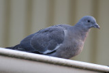 Common Wood-Pigeon (Columba palumbus) - ringduva
