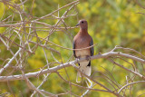 Laughing Dove (Streptopelia senegalensis) - palmduva