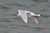 Iceland Gull (Larus glaucoides) - vitvingad trut