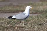 Common Gull (Larus canus) - fiskmås