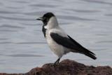 Hooded Crow (Corvus cornix) - Gråkråka