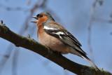 Chaffinch (Fringilla coelebs) - bofink