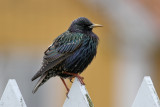 Common Starling (Sturnus vulgaris) - stare