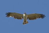 Short-toed Eagle (Circaetus gallicus) - ormörn