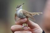 Paddyfield Warbler (Acrocephalus agricola) - fältsångare