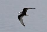 White-winged Tern (Chlidonias leucopterus) - vitvingad tärna