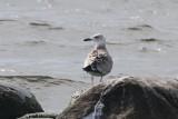 Caspian Gull (Larsu cachinnans) - kaspisk trut