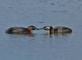 Red-necked Grebe (Podiceps grisegena) - gråhakedoppingg