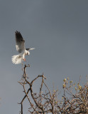 White-tail Kite