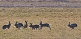 Hare - Hare - Lepus europaeus
