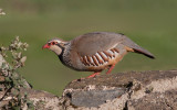 Red-legged Partridge - Rødhøne - Alectoris rufa