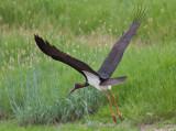 Black stork - Sort Stork - Ciconia nigra